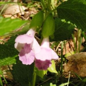 Photographie n°255686 du taxon Melittis melissophyllum subsp. melissophyllum
