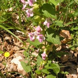 Photographie n°255687 du taxon Melittis melissophyllum subsp. melissophyllum