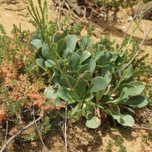 Photographie n°255690 du taxon Limonium binervosum (G.E.Sm.) C.E.Salmon