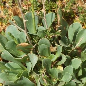 Photographie n°255691 du taxon Limonium binervosum (G.E.Sm.) C.E.Salmon [1907]