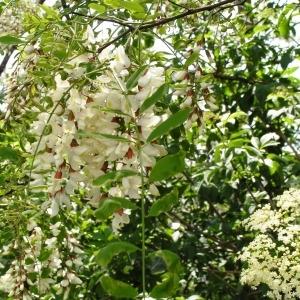 Photographie n°255703 du taxon Robinia pseudoacacia L.