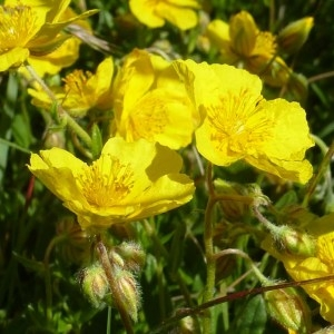 Photographie n°255770 du taxon Helianthemum grandiflorum (Scop.) DC.