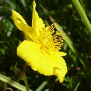 Photographie n°255771 du taxon Helianthemum grandiflorum (Scop.) DC.