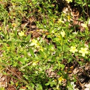Photographie n°255951 du taxon Jasminum fruticans L. [1753]