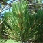 Paul Fabre - Pinus mugo subsp. uncinata (Ramond ex DC.) Domin