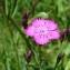 Paul Fabre - Dianthus seguieri subsp. pseudocollinus (P.Fourn.) Jauzein