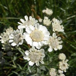 Photographie n°256158 du taxon Achillea ptarmica subsp. pyrenaica