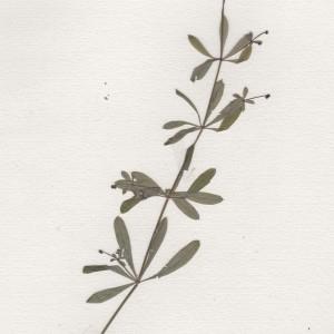 Photographie n°256254 du taxon Galium aparine L.