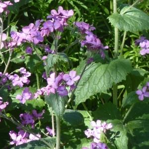 Photographie n°256300 du taxon Lunaria annua L.