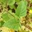 Alain Bigou - Brassica nigra (L.) W.D.J.Koch