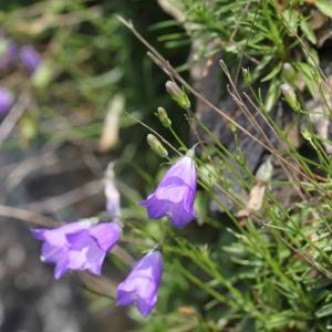 Photographie n°256359 du taxon Campanula L.