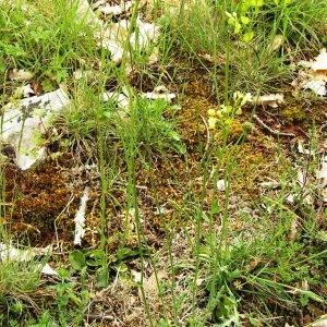 Photographie n°256363 du taxon Biscutella laevigata subsp. laevigata