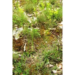 Biscutella laevigata L. subsp. laevigata (Biscutelle commune)