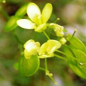 Photographie n°256364 du taxon Biscutella laevigata subsp. laevigata
