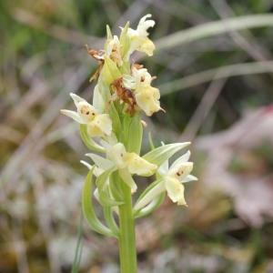 Photographie n°256369 du taxon Orchidaceae