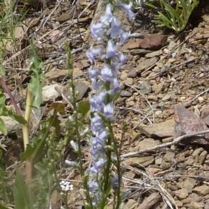 Photographie n°256385 du taxon Anarrhinum bellidifolium (L.) Willd.