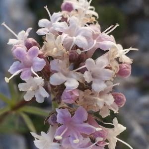 Photographie n°256506 du taxon Valeriana globulariifolia Ramond ex DC. [1805]