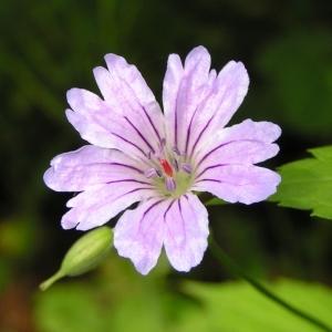 Geranium nodosum L. (Géranium à tige noueuse)