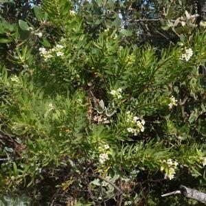 Photographie n°256768 du taxon Daphne gnidium L. [1753]