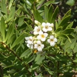Photographie n°256769 du taxon Daphne gnidium L. [1753]