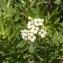 Ans Gorter - Daphne gnidium L.