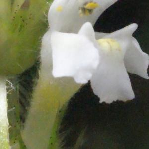 Photographie n°256816 du taxon Galeopsis tetrahit L.