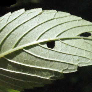 Photographie n°256818 du taxon Galeopsis tetrahit L.