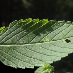Photographie n°256819 du taxon Galeopsis tetrahit L.