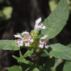 Photographie n°256820 du taxon Galeopsis tetrahit L.