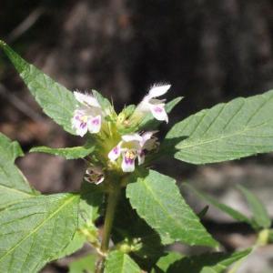 Photographie n°256823 du taxon Galeopsis tetrahit L.