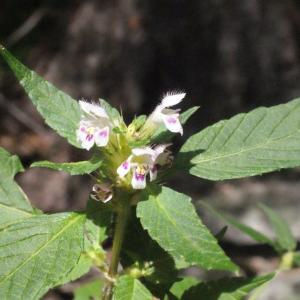 Photographie n°256824 du taxon Galeopsis tetrahit L.