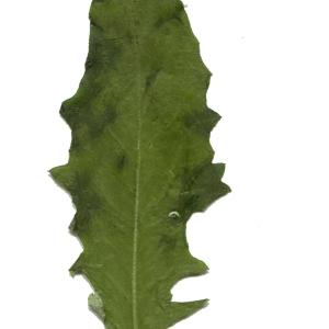 Photographie n°256826 du taxon Hieracium vulgatum Fr. [1819]