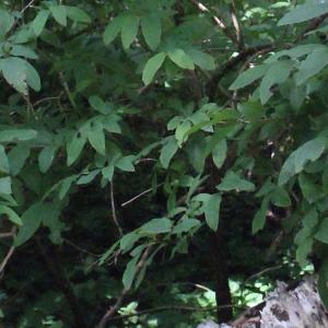 Photographie n°256832 du taxon Lonicera nigra L. [1753]