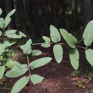 Photographie n°256841 du taxon Lonicera nigra L. [1753]