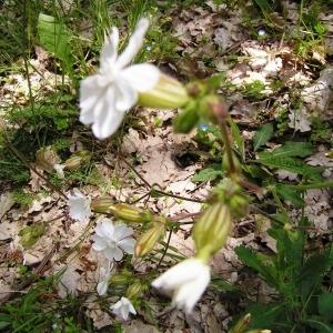 Photographie n°256873 du taxon Silene latifolia subsp. alba (Mill.) Greuter & Burdet [1982]