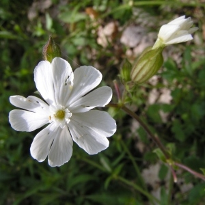 Photographie n°256874 du taxon Silene latifolia subsp. alba (Mill.) Greuter & Burdet [1982]
