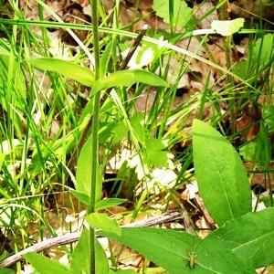Photographie n°256898 du taxon Silene latifolia subsp. alba (Mill.) Greuter & Burdet [1982]
