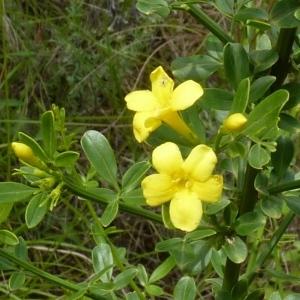 Photographie n°256941 du taxon Jasminum fruticans L. [1753]