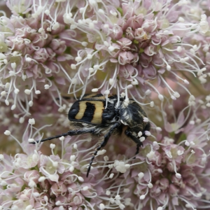 Photographie n°257034 du taxon Angelica sylvestris L. [1753]