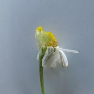 Photographie n°257138 du taxon Anthemis arvensis subsp. arvensis