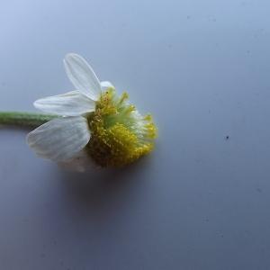 Photographie n°257139 du taxon Anthemis arvensis subsp. arvensis