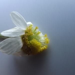 Anthemis arvensis L. subsp. arvensis (Anthémis des champs)