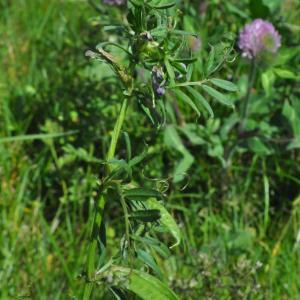 Photographie n°257163 du taxon Vesce hérissée