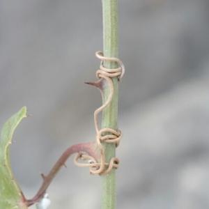 Photographie n°257211 du taxon Smilax aspera L. [1753]