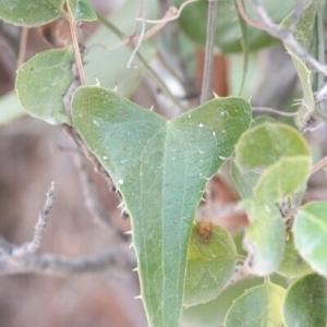 Photographie n°257213 du taxon Smilax aspera L. [1753]