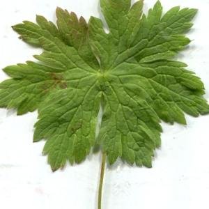 Photographie n°257262 du taxon Geranium sylvaticum L. [1753]