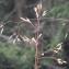Liliane Roubaudi - Deschampsia flexuosa (L.) Trin. [1836]