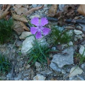 Dianthus balbisii Ser. (Oeillet de Balbis)