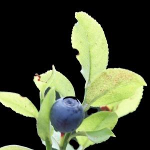 Photographie n°257393 du taxon Vaccinium myrtillus L.