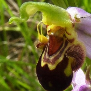 Photographie n°257502 du taxon Ophrys apifera Huds. [1762]